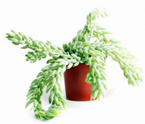Cat safe houseplants - burro's tail