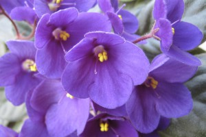 Cat safe houseplants - african violet