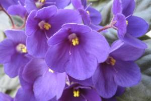 Cat safe houseplants - african violet
