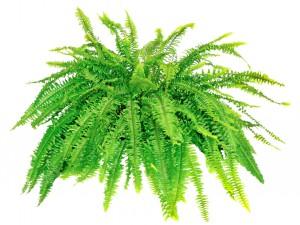 Cat safe houseplants - boston fern