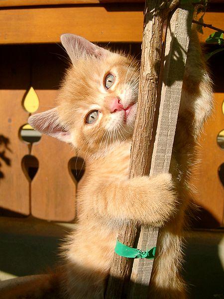Kitten scratching wood