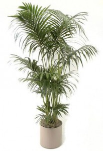 Cat safe houseplants - Kentia Palm