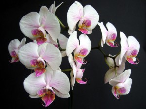 Cat safe houseplants - moth orchid