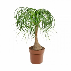 Cat safe houseplants - PonyTail plant