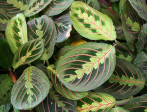 Cat safe houseplants - prayer plant