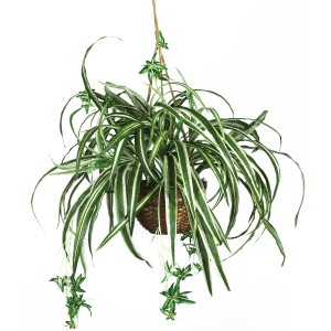 Cat safe houseplants - spider plant