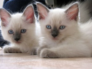 Blue Colorpoint Kittens