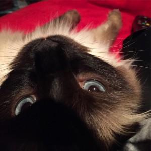 Ragdoll Cat Information - Blue Eyes